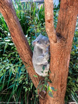 Koala's at Taronga Zoo