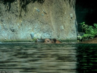 I see you hippo at Disney's Animal Kingdom - Guide to the Orlando Theme Parks - The Trusted Traveller