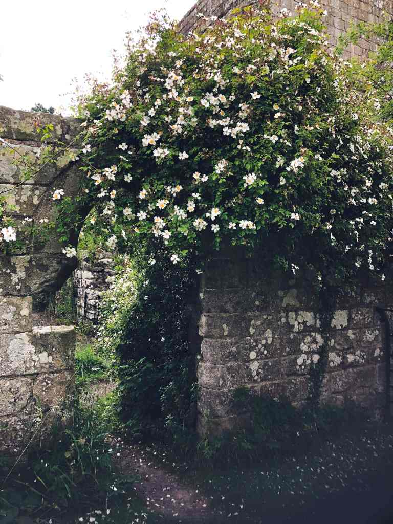 A profusion of roses on a bush growing over the ruins of an abbey wall.