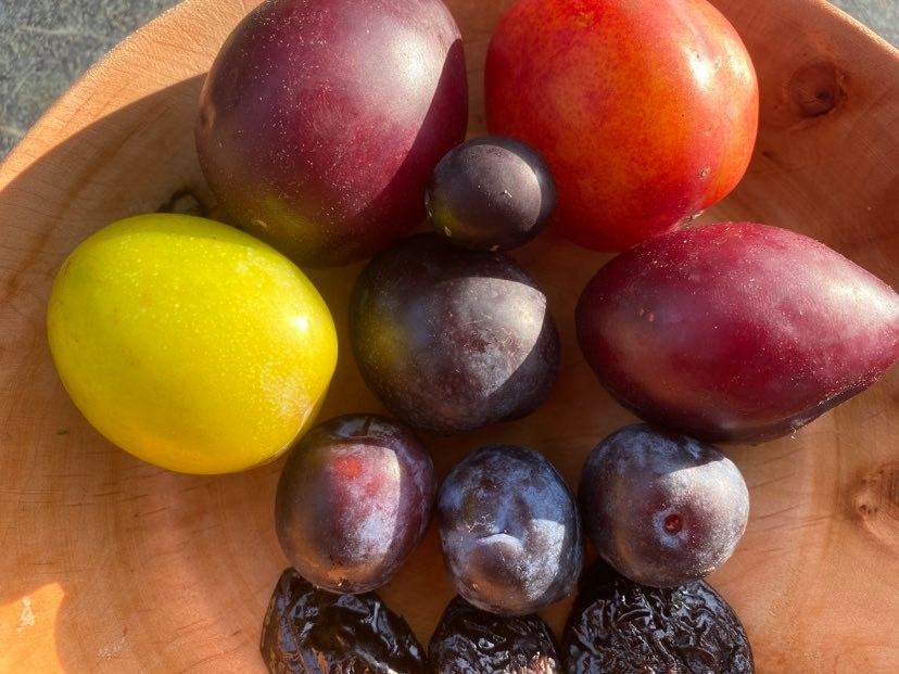 A bowl of different varieties of plums