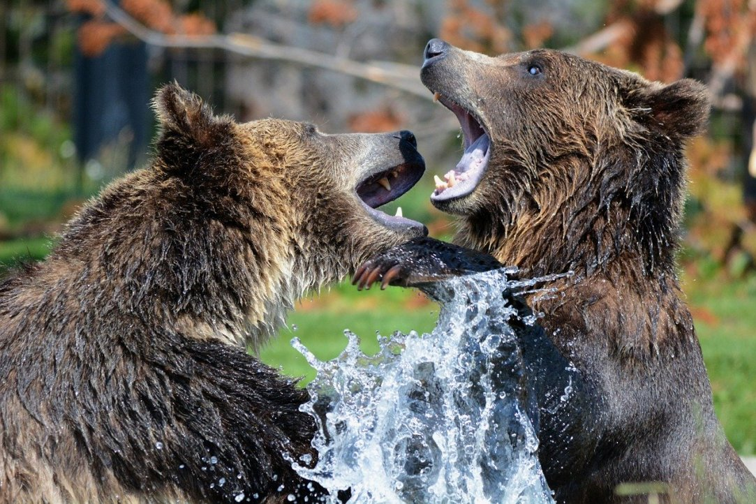 Are grizzly bears ready to be hunted again?