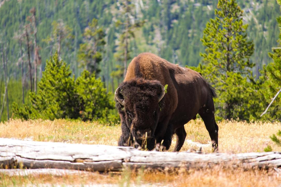 Back from the brink: The fall and resurgence of the American bison