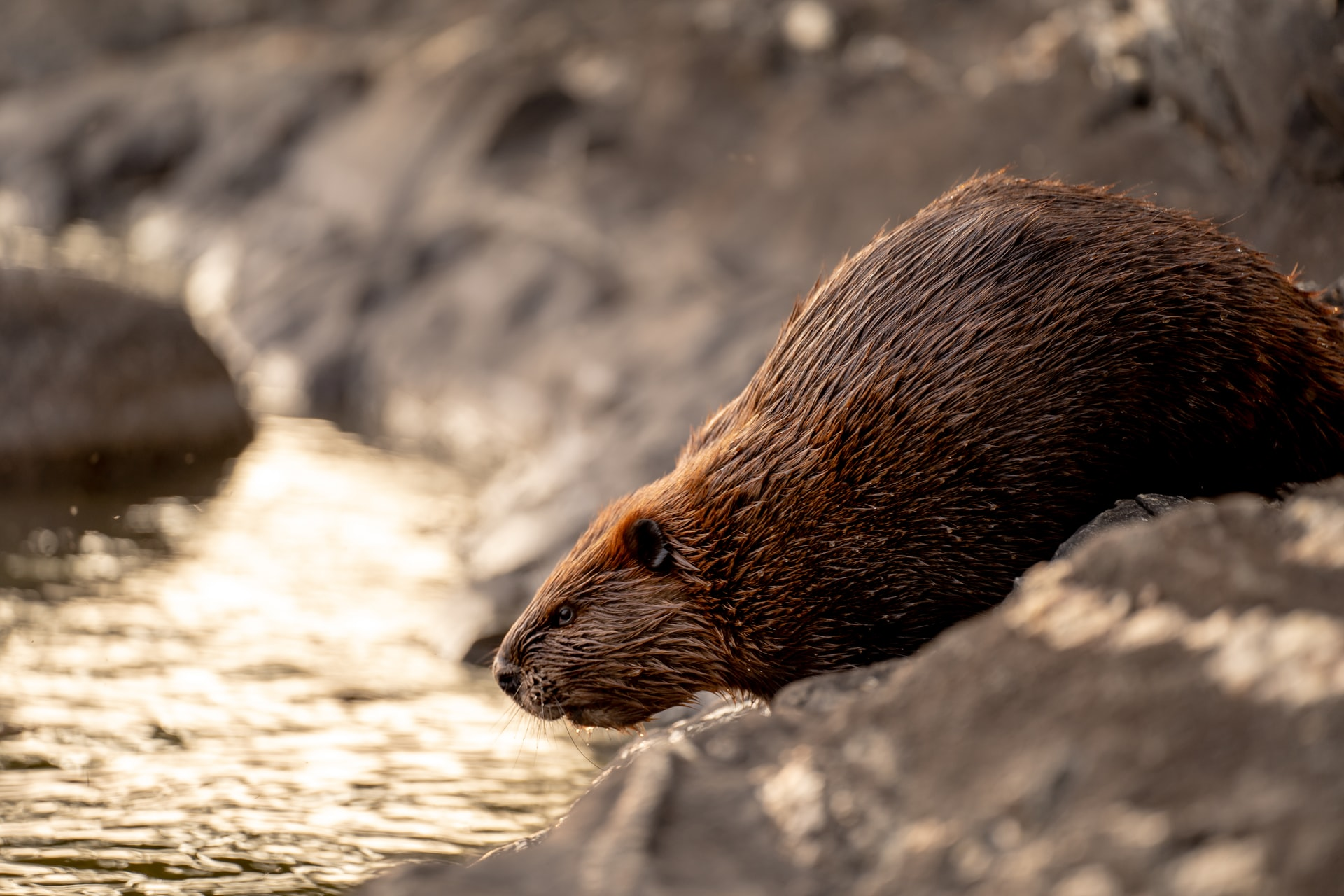 Hunting beaver: The pursuit that shaped our nation