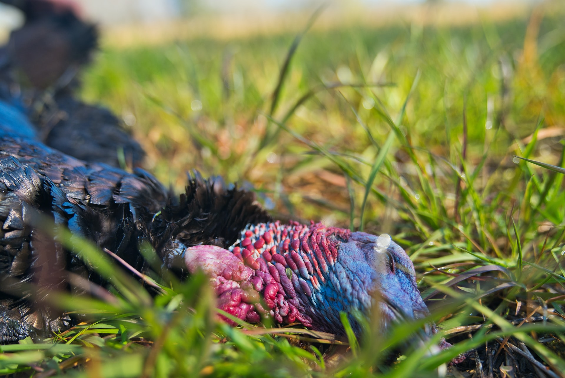 How to start scouting for turkey season