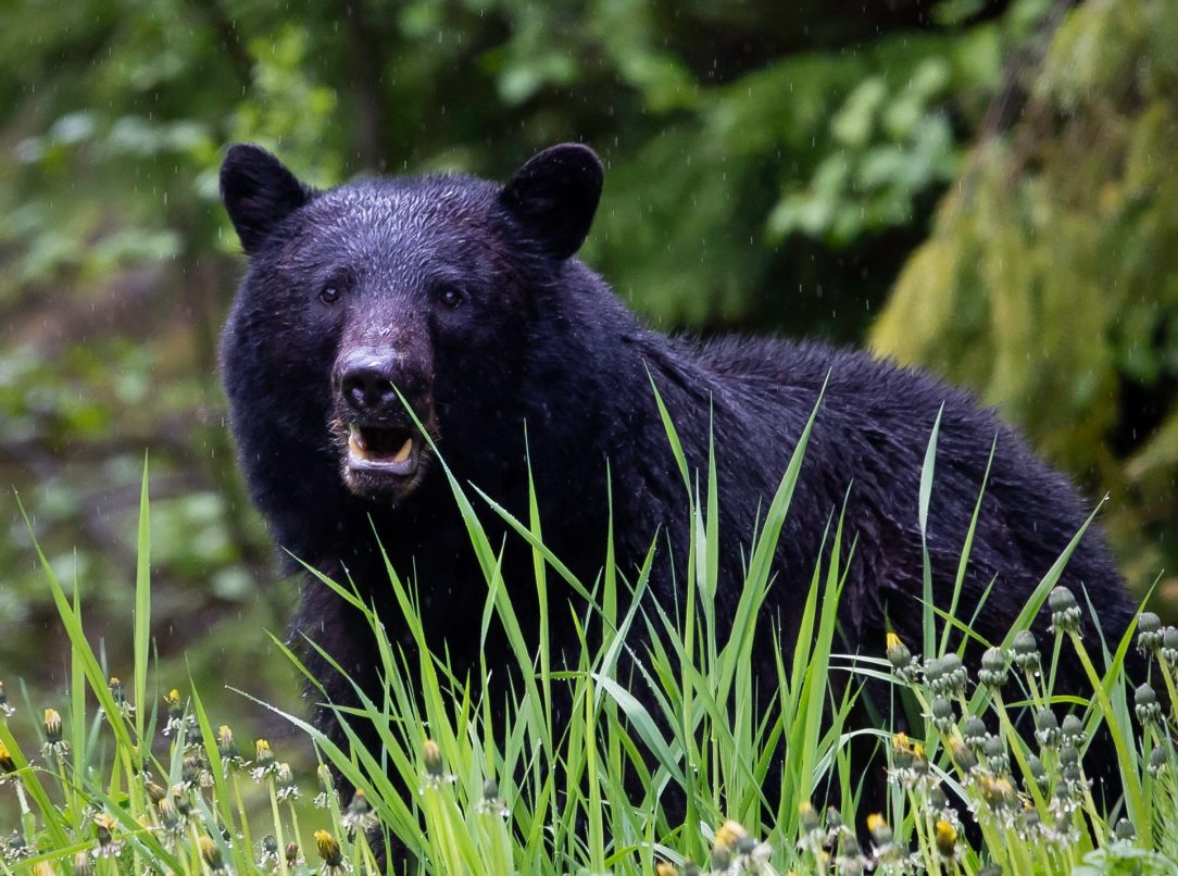 How to bag a black bear this spring