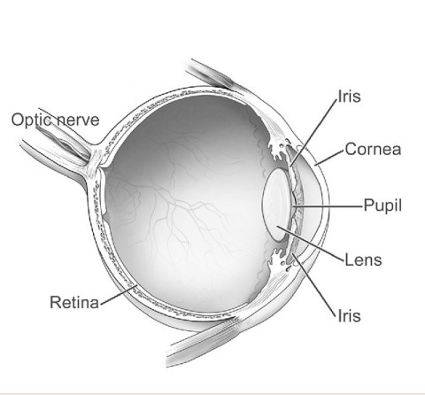 Cataracts develop on the lens of the eye which is a clear layer behind the pupil and iris