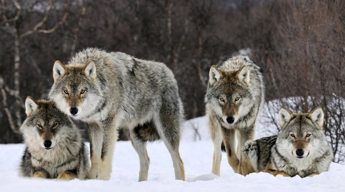 Hungry Grey Wolf Pack