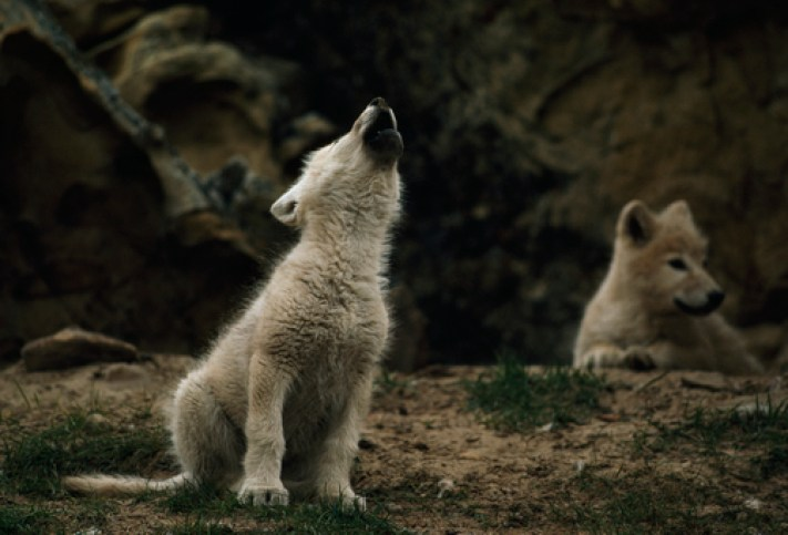 An arctic wolf pup practices howling. Why do wolves howl?