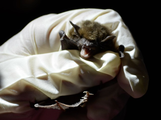Presenting D.C.'s new official mammal – the brown bat