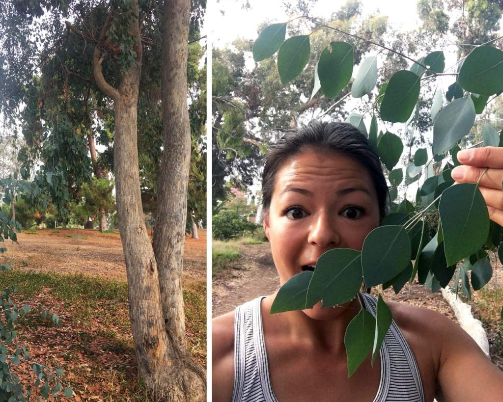 Eucalyptus trees we saw (and smelled!) while biking around San Diego