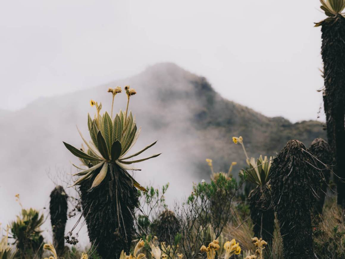 Frailejones in foreground and cloudy Alto del Burro in background