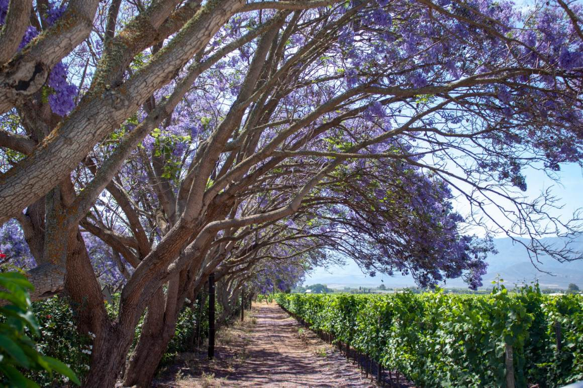 Jacarandas and vines in the Robertson Wine Valley