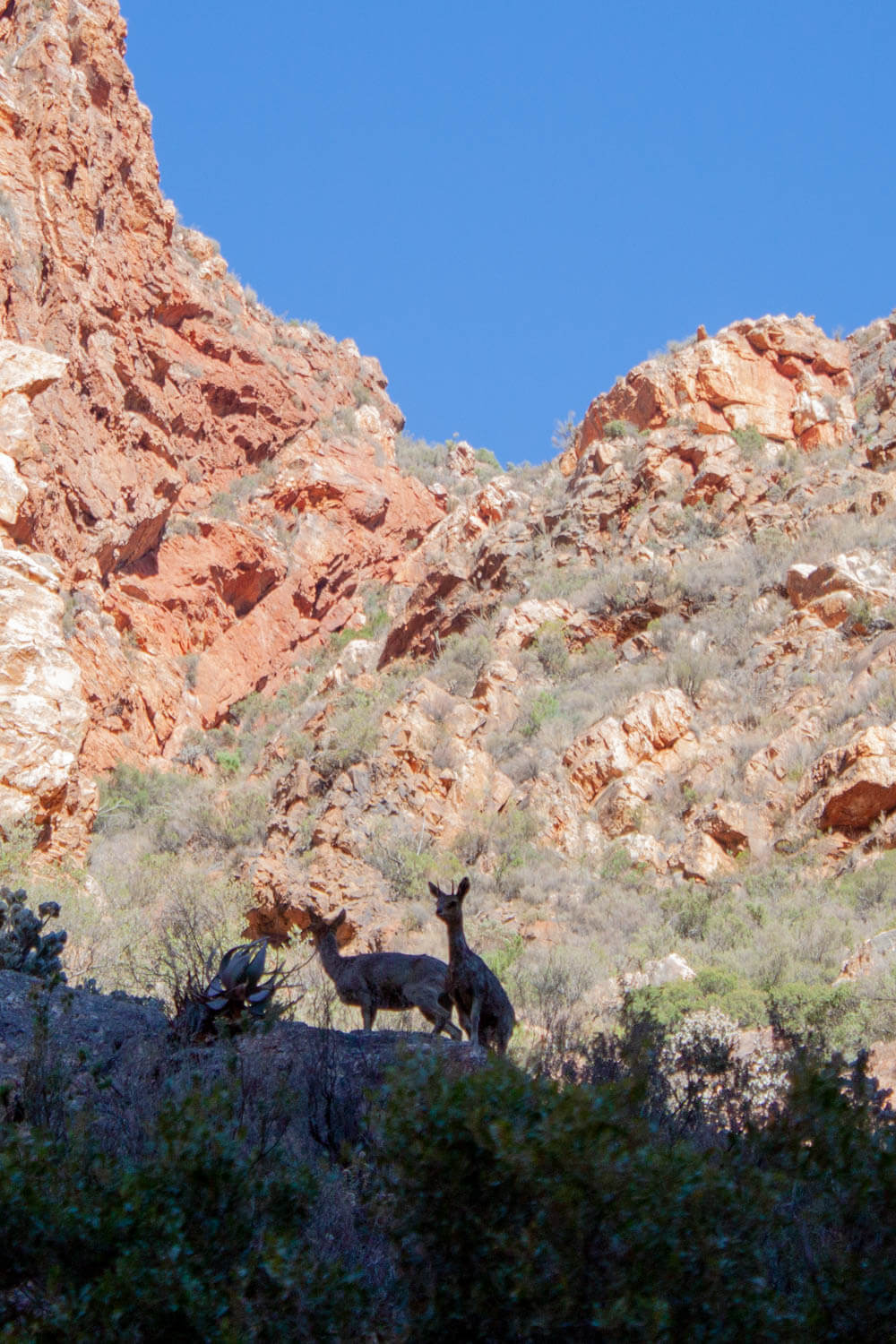 Klipspringer on the Swartberg Pass