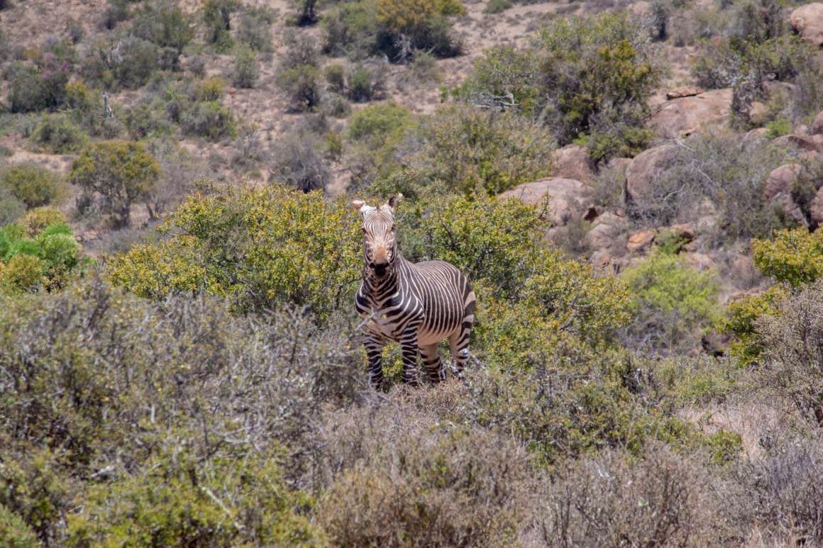 Mountain zebra staring at us.