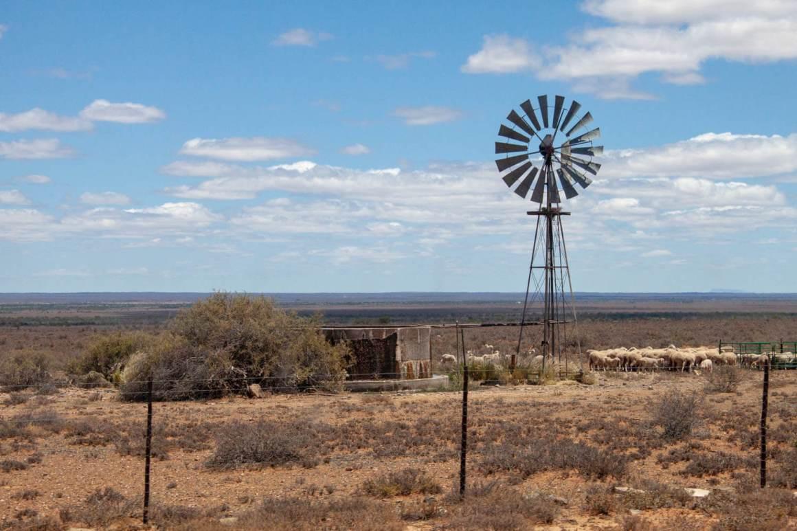 Karoo desert with sheep and windmill