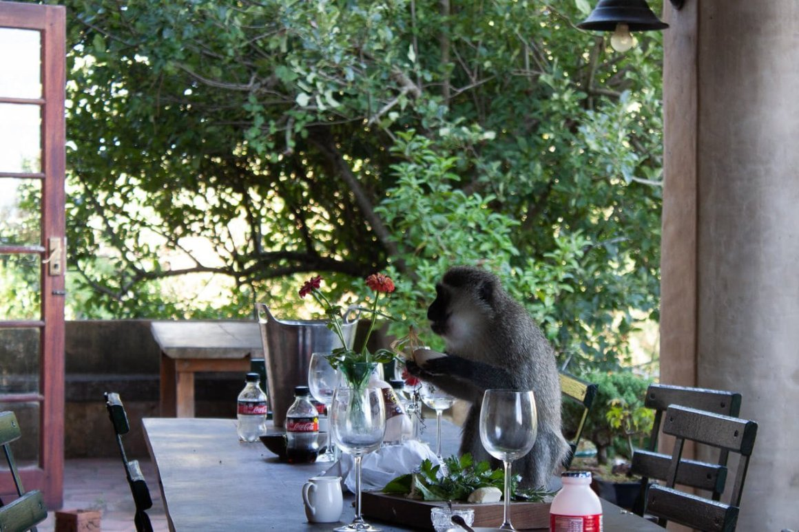 Mischievious monkey eats cheese leftovers at Fynboshoek.
