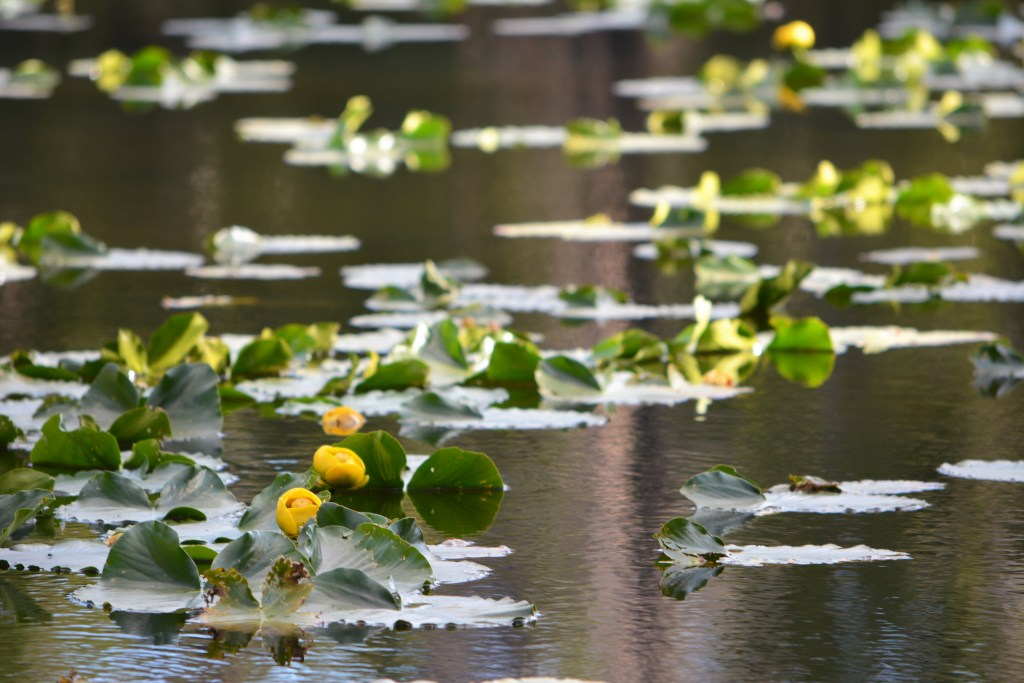 Yellow Flower Lily Pads at Nymph Lake