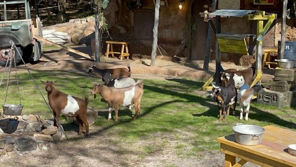A herd of Nigerian dwarf goats now on display along Kilimanjaro Safaris at Disney's Animal Kingdom