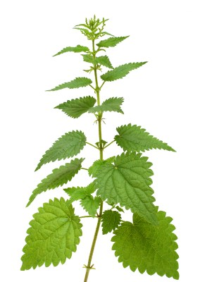 wisdom in brief: stinging nettle
