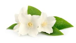 bigstock-Flowers-Of-Jasmine-45945922
