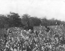 """Group of Negroes picking cotton."" 6/8/1928 (86-G-1B-1)"