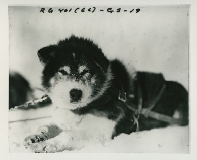 Sled dog. Local identifier: XEJD-DE-06-05-21