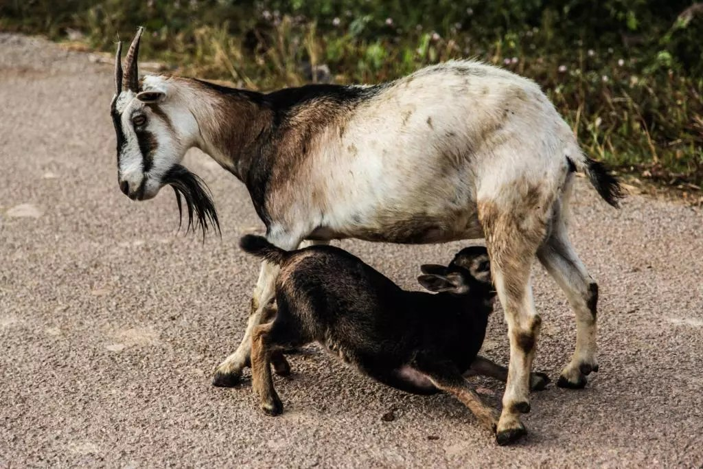how to treat mastitis in goats naturally