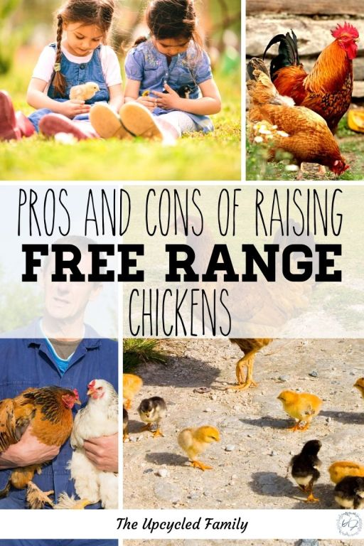 pros and cons of raising free range chickens