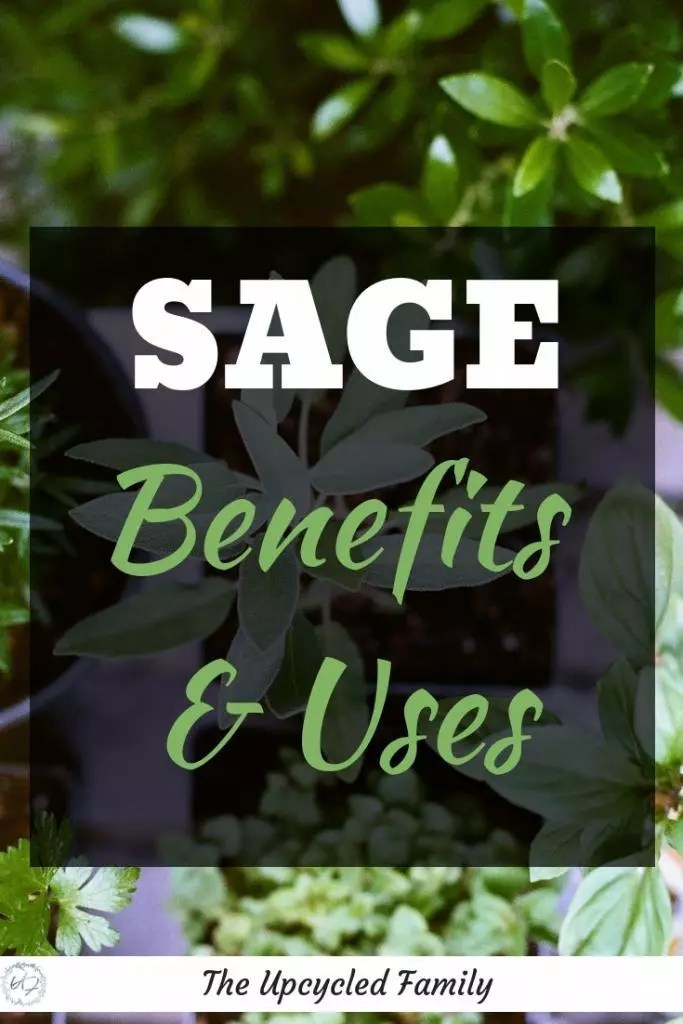 Sage in your garden. The benefits of sage surpass that of simply culinary uses. Sage benefits and uses for both food an medicine. #medicinalherbs #sage #sageuses #sageplant #growingsage #herb #sagebenefits #gardenherbs