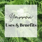 Yarrow | Uses and Benefits