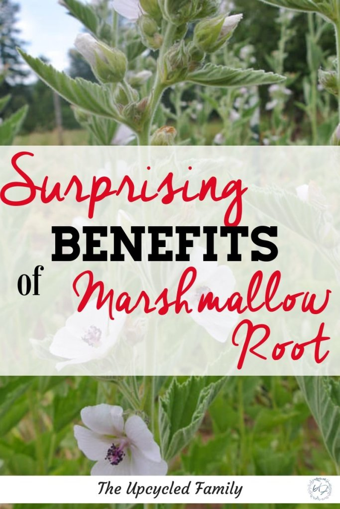 Marshmallow root benefits and uses. This once 'old-time' remedy is making a comeback with its many medicinal healing properties. Learn everything that growing and using marshmallow root can do for you. #marshmallowroot #marshmallowrootbenefits #marshmallowherbbenefits #marshmallowrootuses #herbalremedies #herbalprofile