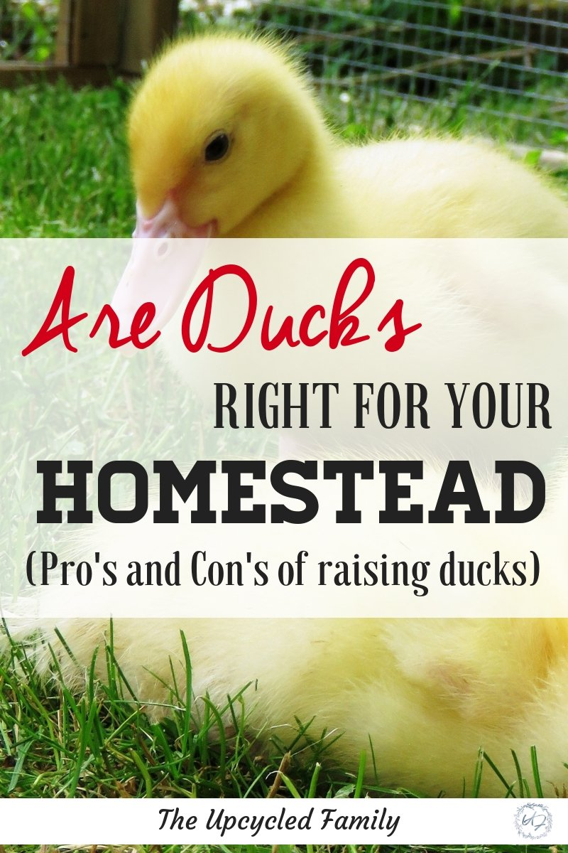 Sure they are cute and adorable but are homestead ducks right for YOUR homestead? The pros and cons of raising ducks on your homestead or backyard. #raisingducks #ducks #duckbreeds #homesteadducks #backyardducks #ducksforeggs