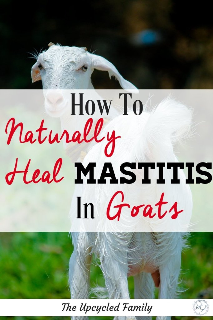 Healing mastitis (clogged/ infected milk duct) in goats. The go-to guide you need on how to treat mastitis in goats naturally. This simple method can save you big $$ as well as stress and the unnecessary use of antibiotics in your goats!