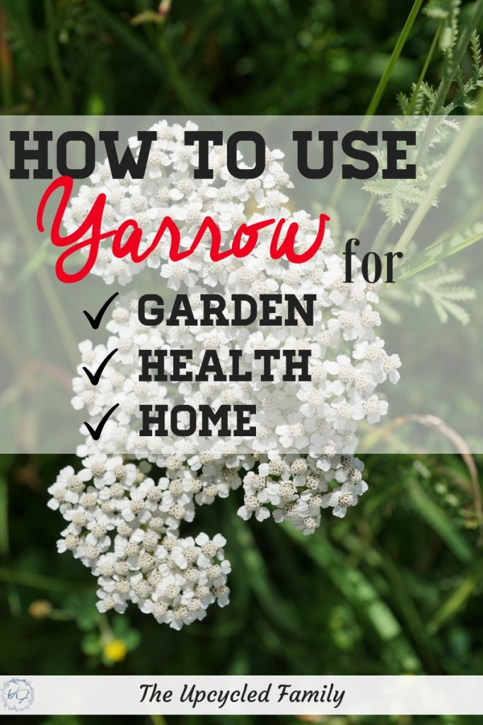 Yarrow has many benefits. Check out why this powerful herb should be a garden favorite, whether its yarrow plant or yarrow flower yarrow uses and benefits are many for everything from garden to health & home!