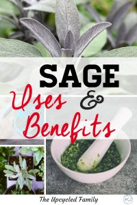 Sage growing in your garden. The benefits of sage surpass that of simply culinary uses. Sage benefits and uses for both food and medicine. #medicinalherbs #sage #sageuses #sageplant #growingsage #herb #sagebenefits #gardenherbs