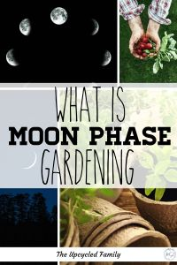 Ever heard of planting by the moon phases or moon phase gardening? What is it, and how does it work. Everything you need to know about gardening by the moon cycles. #moongardeing #plantingbythemoon #moonphasegardening #gardeingbythemoon #gardeing #plantingbythemoonsigns #homestead #howto
