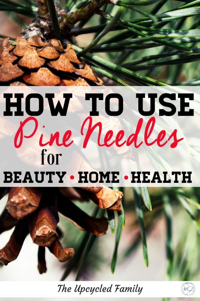 The many benefits of pine needles