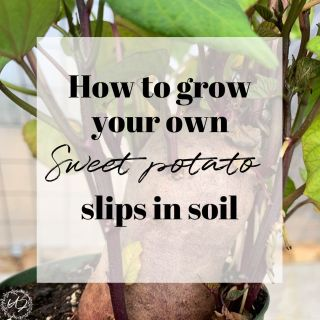 How to grow your own sweet potato slips in soil