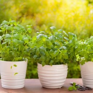 growing herbs and medicine