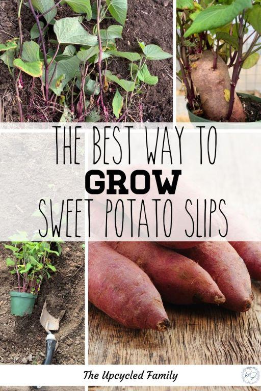 the best way to grow sweet potato slips