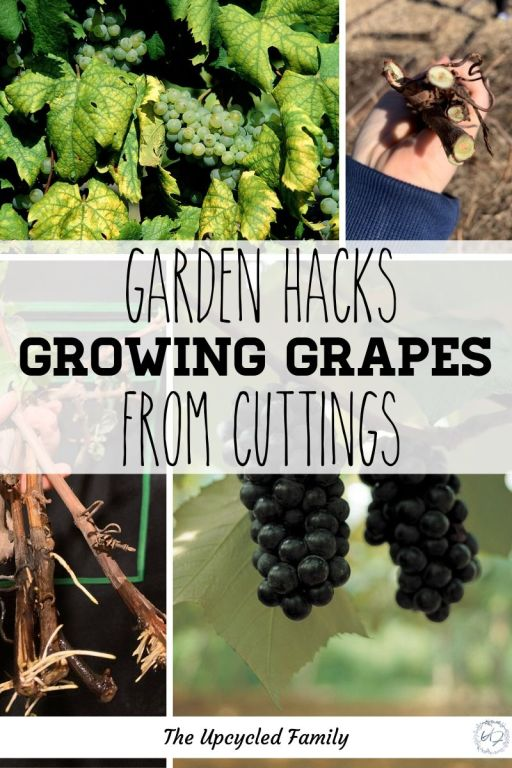 how to root grape cuttings