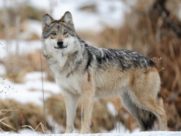 mexican-wolf