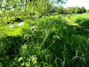 Closeup picture of spring weeds flowering at Dunham Massey