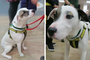 Charlie, a brown and white dog up for adoption with the Dogs Trust at the Go Outdoors Preston store opening event