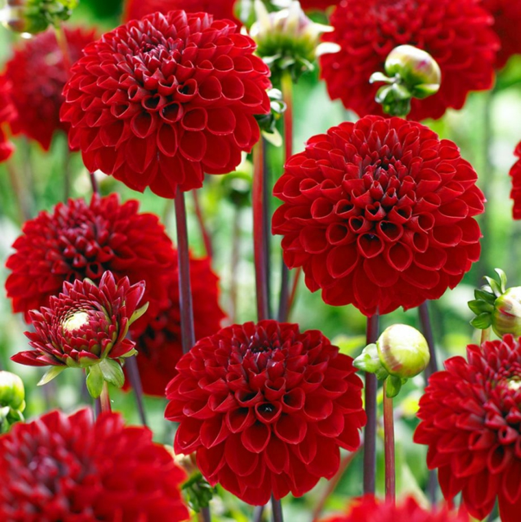 pompoms of dahlias
