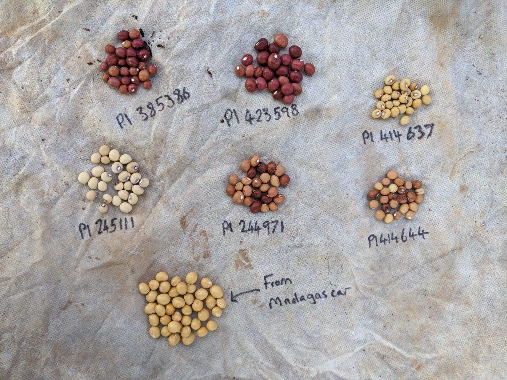Bambara Groundnut Varieties