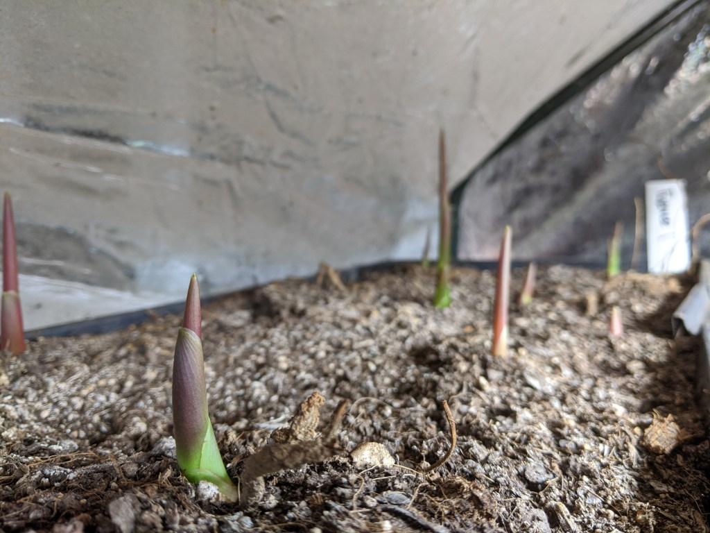 Black Turmeric Sprouting (Cucurma caesia)