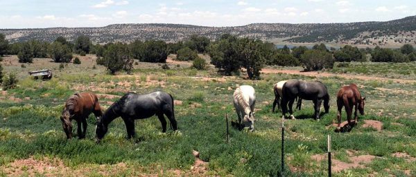 A small herd of six horses, all with their heads down, grazing. They're scattered around a back yard filled with sagebrush & ragweed; in the background are evergreen trees & then low hills. Two are chestnut, two are dark grey, & two are very pale tan.