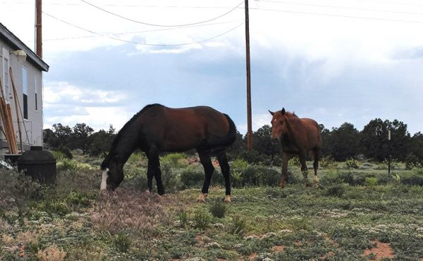 Two horses, a dark shestnut & a lighter brown. They're both grazing very close to the house that's off to the left of the picture.
