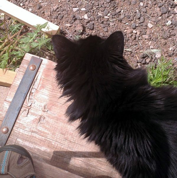 Hades, a black, longhaired cat, seen from above. He's staring out at the horses, & his ears are eloquent of WTF.